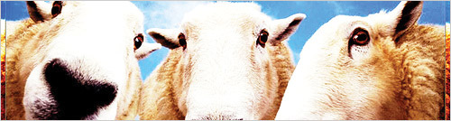 Sheep - Photo courtest of http://www.flickr.com/photos/gi/