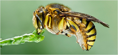 Bee - Photo by Aitor Escauriaza