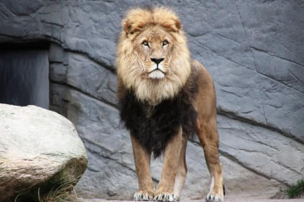 Lion standing alone - Leadership Qualities Most Valued by Creatives